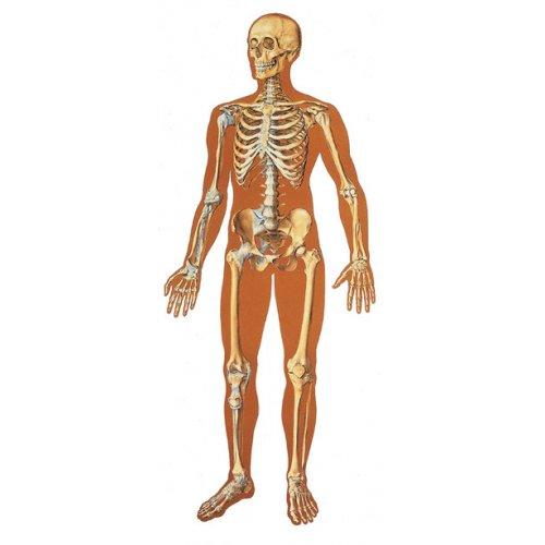 Schéma - lidská kostra čelní pohled - papír - 84x200 cm