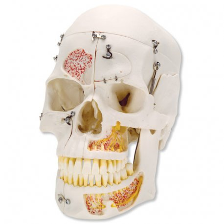 Lebka luxusní demonstrační - 10 částí