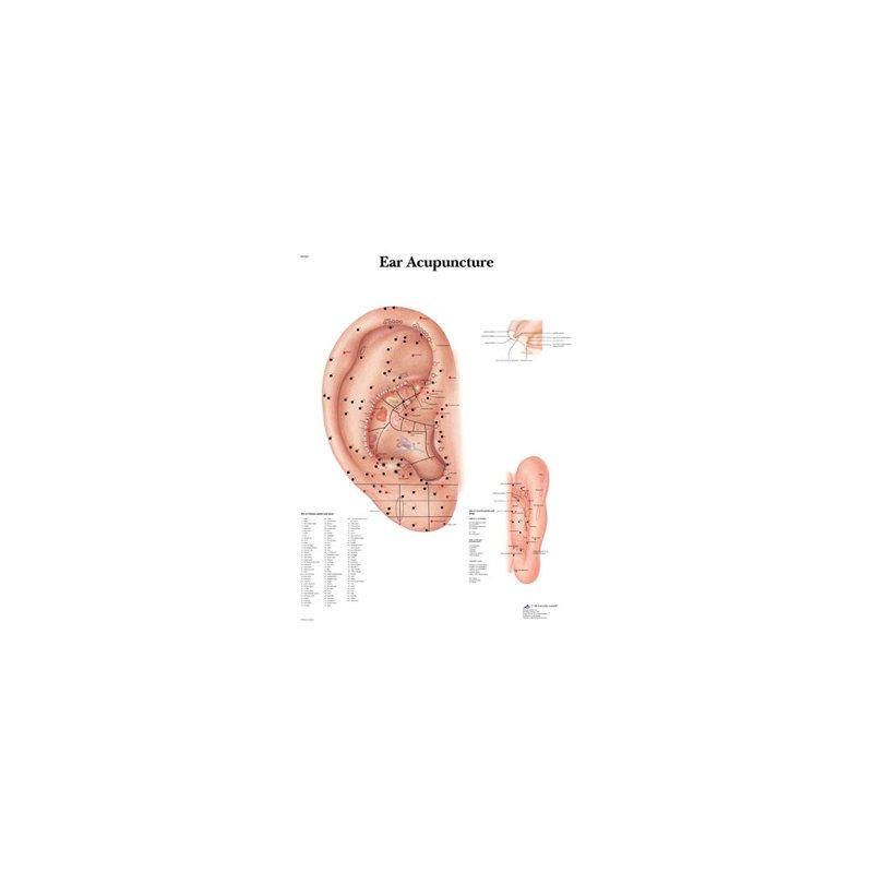 Schéma - ucho akupunktura - lamino - 50x67 cm