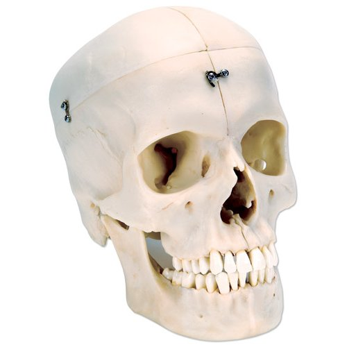 Lebka realistická - kost lebky rozložitelná na poloviny - 6 část