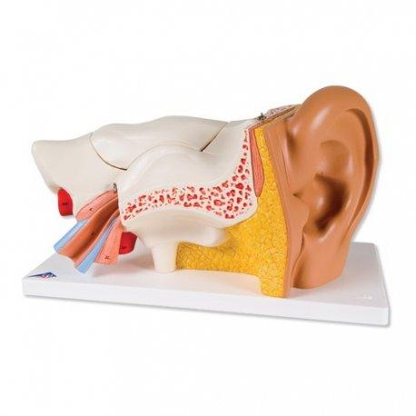 ucho - třikrát zvětšeno - 6 částí