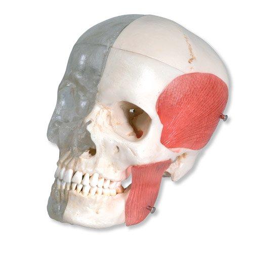 Model lebky - průhledná a kosti se svaly - 8 částí