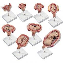 Série modelů těhotenství