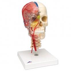 Model lebky - luxusní didaktická lebka - 7 částí