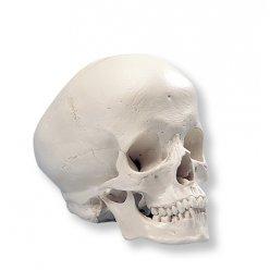 Lebka hydrocefalická