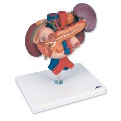 Ledviny se zadními orgány břišní dutiny