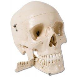 Lebka se zuby, které se dají trhat - 4 části