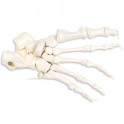 Kostra nohy spojená nylonem