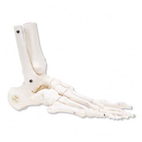 Kostra nohy s částí kosti holení a lýtkové - pohyblivá - pravá