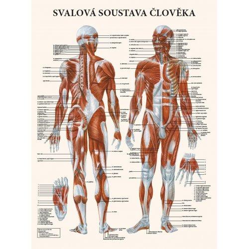 Schéma - Svalová soustava člověka