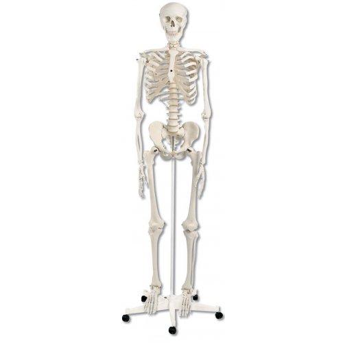 Model kostry standardní - na pojízdném stojanu