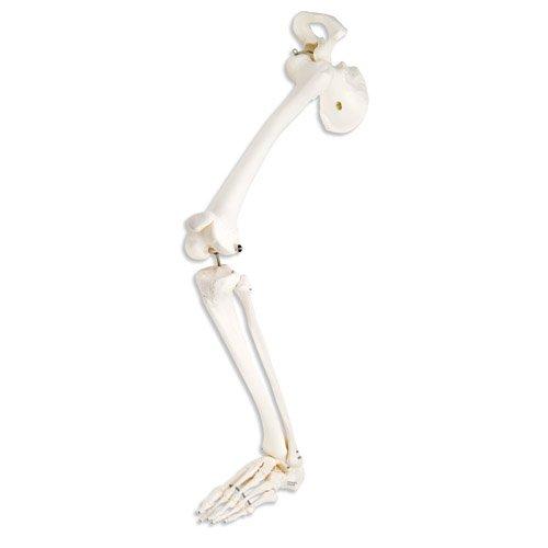 Kostra dolní končetiny s kyčelní kostí