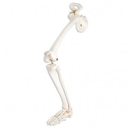 Kostra dolní končetiny s kyčelní kostí - pravá