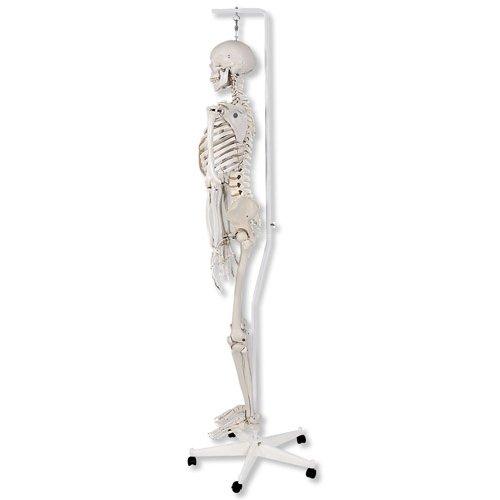 Model kostry standardní na závěsném stojanu