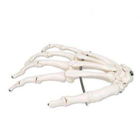 Kostra lidské ruky - pravá
