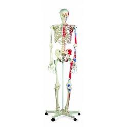 Lidská kostra se svaly na pětinohém stojanu