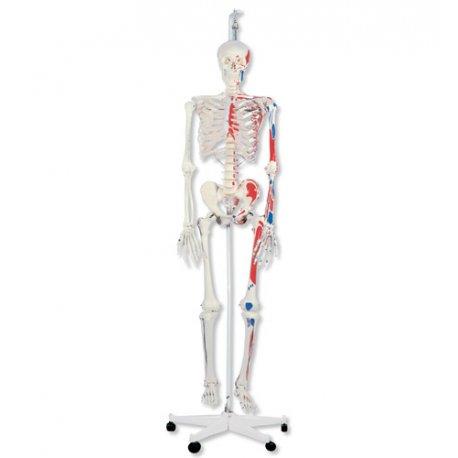 Lidská kostra se svaly na závěsném podstavci