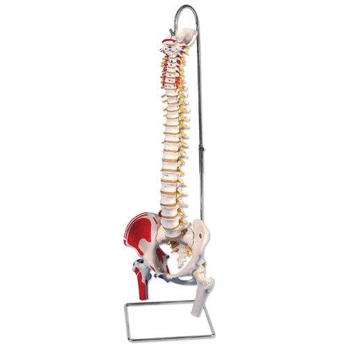Pružný model páteře - hlavičky stehenních kostí a barevné svaly